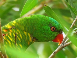 Scaly Breasted Lorikeet