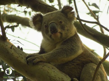 Koala on Threatened Species Day